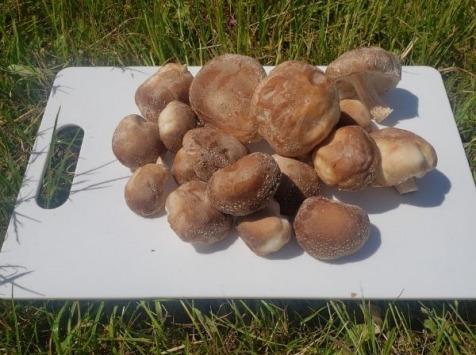 Les Champis du Lattay - Shiitaké -1kg