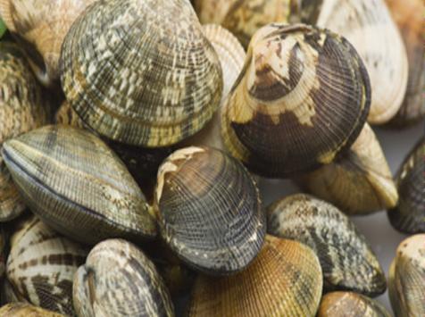 Camargue Coquillages - Palourdes Blanches De Camargue - Pêche Artisanale