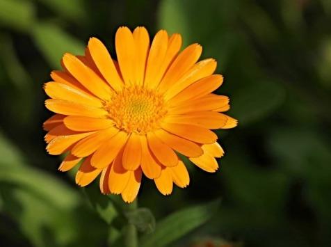 Les Jardins du Mas de Greil - Calendula Ou Souci, Fleur Fraîche