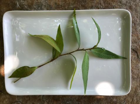 """Le Jardin des Antipodes - Coriandre Vietnamienne """"rau Ram"""" Fraîche Bio"""