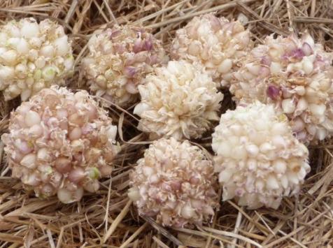 Ferme des petites Brossardières - Ail - Bulbilles - 50 g