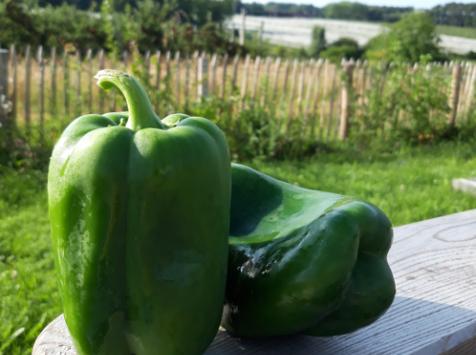 Le Châtaignier - Poivron vert - 1 kg