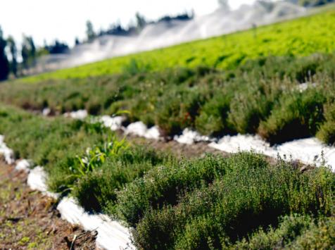 Les Herbes du Roussillon - Thym Frais