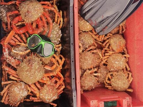 LTJ2 - Pêche en plongée - Araignée De Mer De Plongée 1,5kg - Vivante