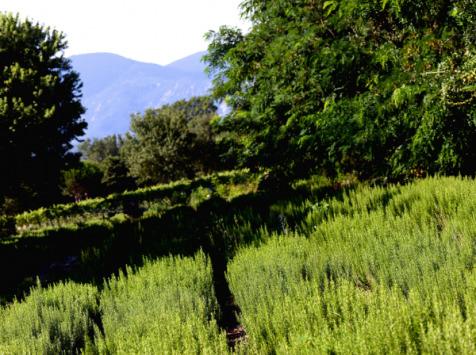 Les Herbes du Roussillon - Romarin Frais