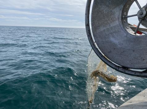 Pêcheurs Toni & David Micheau - Seiche De Méditerranée - Une Pièce De 500g - Vidée