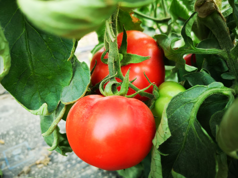 La Boite à Herbes - Tomate Ronde Biologique - 1 kg