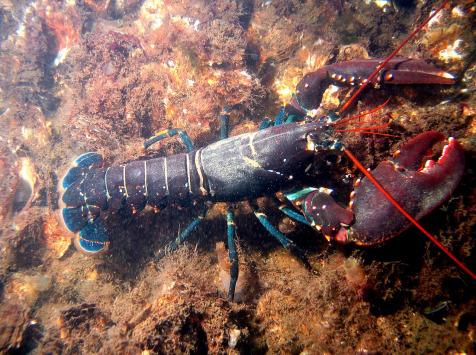 LTJ2 - Pêche en plongée - Homard De Casier 600g - vivant