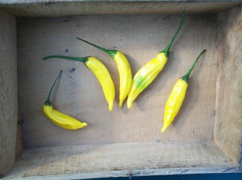 HERBA HUMANA - Piment frais Hot Lemon - 172g