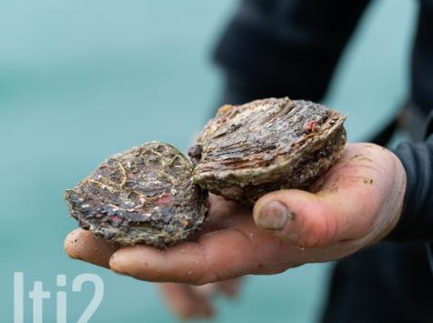 LTJ2 - Pêche en plongée - Huitre Plate De Plongée - 3kg