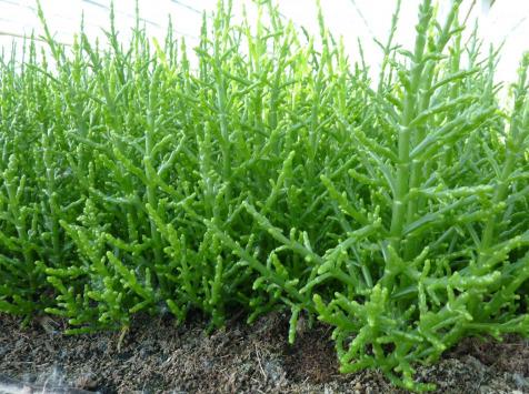 AQUADIS NATURELLEMENT - [caisse 1kg] Salicorne Fraiche De Culture
