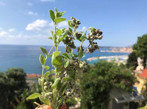 Le Jardin des Antipodes - Za'atar Frais Bio - Botte De 10g