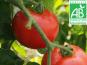Mon Petit Producteur - Tomate Ronde Paola Bio [vendue Par 3 Kg]