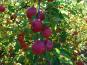 La Boite à Herbes - Pomme Pink Cripps Bio 1kg