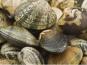 Les Huîtres Courdavault Alain & Fils - Palourdes Grises Japonaises Moyennes 5 Kg
