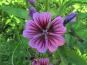 Les Jardins du Mas de Greil - Mauve, Fleur Fraîche