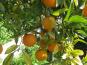 Le Jardin des Antipodes - Orange Amère Non Traité, Pour Vos Confitures Et Sauces.