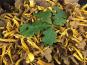 Trapon Champignons - Chanterelles Grises Fraiches - 1 Kg