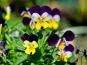 Les Jardins du Mas de Greil - Pensée Sauvage, Fleur Fraîche