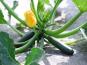 La Boite à Herbes - Courgette 1kg Bio