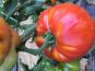 Ferme du Mont de Cuy - Tomates