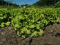 La Boite à Herbes - Salade Batavia Verte Bio