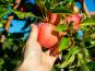 Au bon Jardinet - Pommes Gala  Un Régal À Croquer !