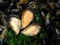 Poissonnerie Le Marlin - Moules Grosses non nettoyées- 1 kg