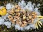 Thaëron - Bulots cuits -  Barquette de 500 g