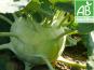 Mon Petit Producteur - Chou Rave Vert [poids Moyen : 300g]