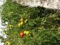 EARL Langevine - Tomate Ronde Paola 1kg