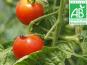 Mon Petit Producteur - Tomate Cerise Bio