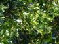 Les Jardins du Mas de Greil - Laurier Sauce, Bouquet Frais