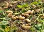 "EARL Langevine - Pomme De Terre Nouvelle ""Gourmandinne"" - 2 kg"