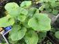 Le Jardin des Antipodes - Feuilles Fraîches De Wasabi Bio