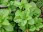 Les Jardins du Mas de Greil - Menthe Verte, Feuilles Fraîches
